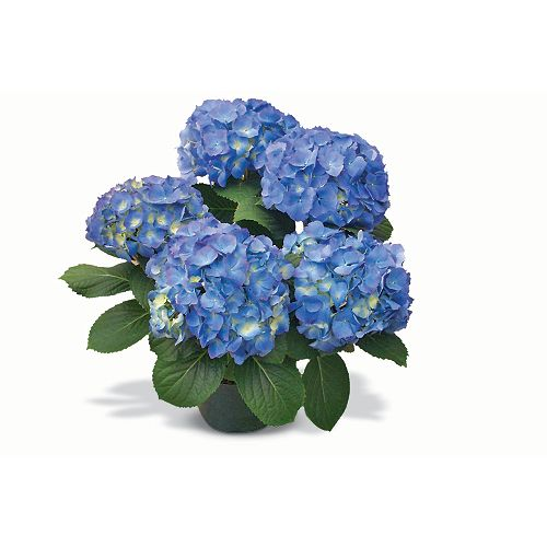 Hortensia de printemps