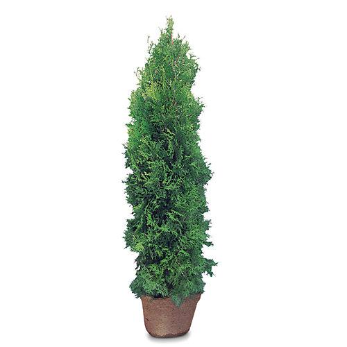 48-inch Emerald Cedar