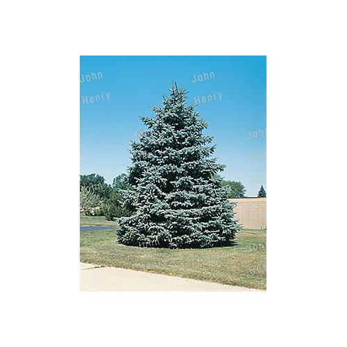 Colorado Spruce 2g