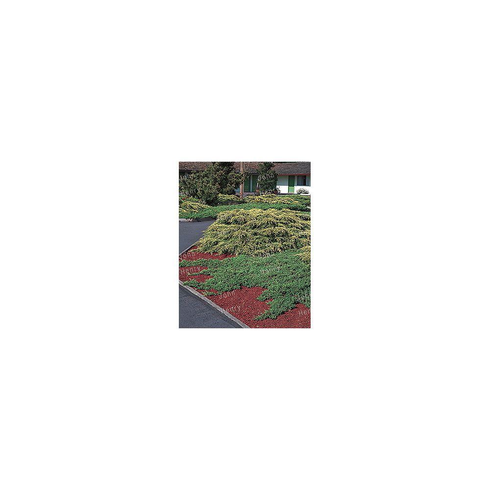 Landscape Basics Spreading Juniper Shrub