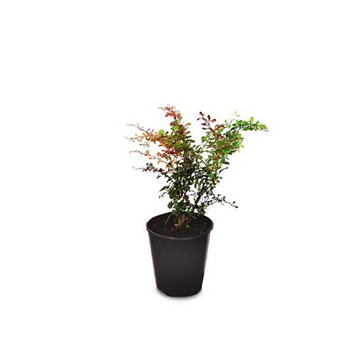 Landscape Basics 1 Gallon Rosy Glow Barberry