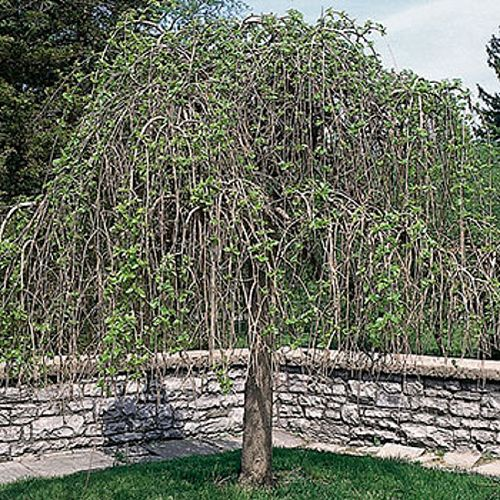 Landscape Basics 5 Gallon Fruitless Weeping Mulberry