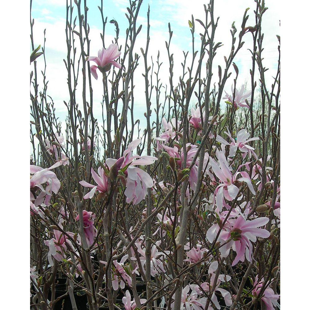 Magnolia 12-inch Vigoro Assorted Magnolia Tree
