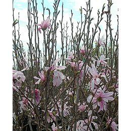 Arbre 12 po Vigoro Magnolia Assortis