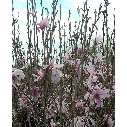 12-inch Vigoro Assorted Magnolia Tree