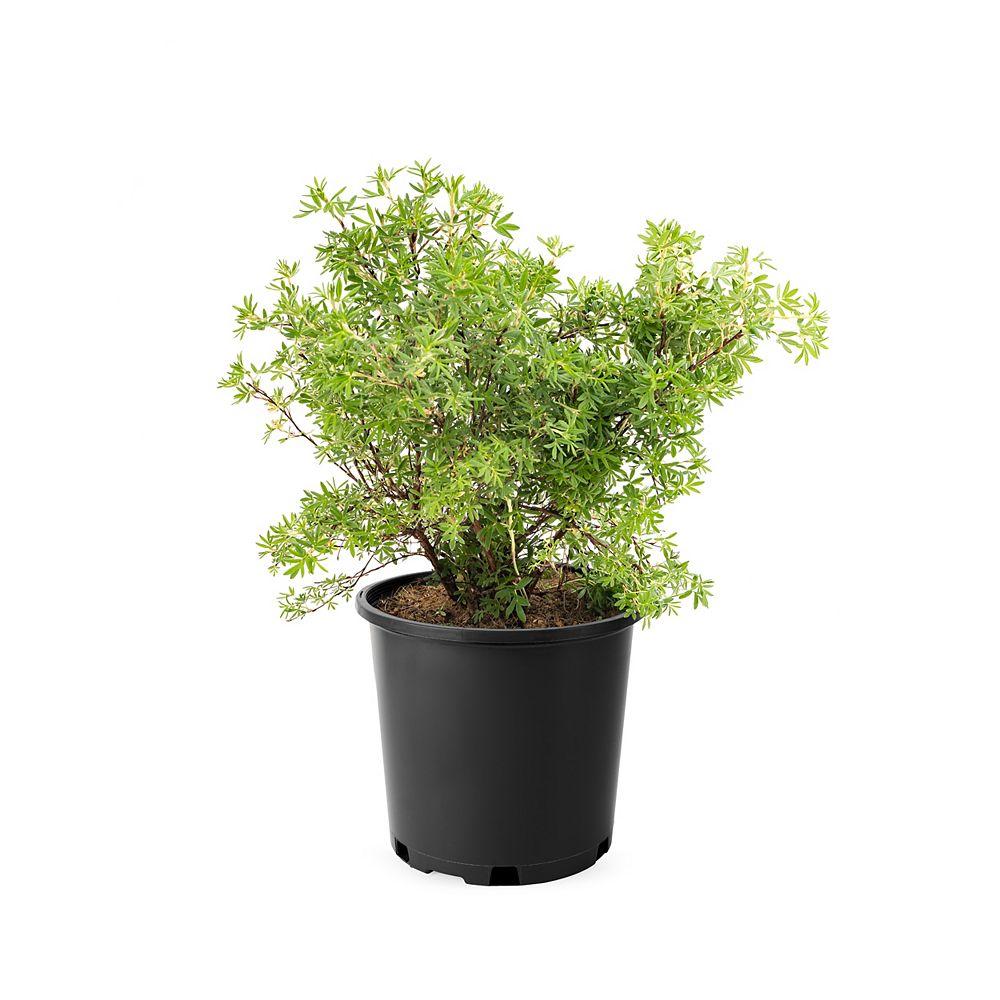 Landscape Basics 7.5L Potentilla Yellow Flowering Shrub