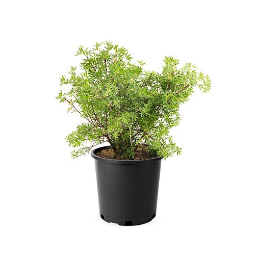 Landscape Basics 2 Gallon Potentilla Yellow