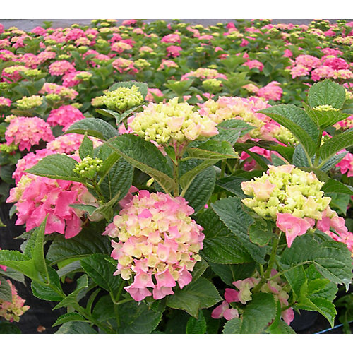 8-inch Macrophylla Shrub (Assorted)