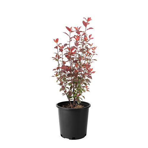 Landscape Basics 7.5 L/2-Gallon Purpleleaf Sandcherry