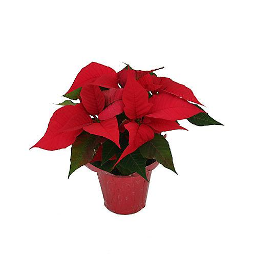 Poinsettia, dans un pot de 10 cm/4 po