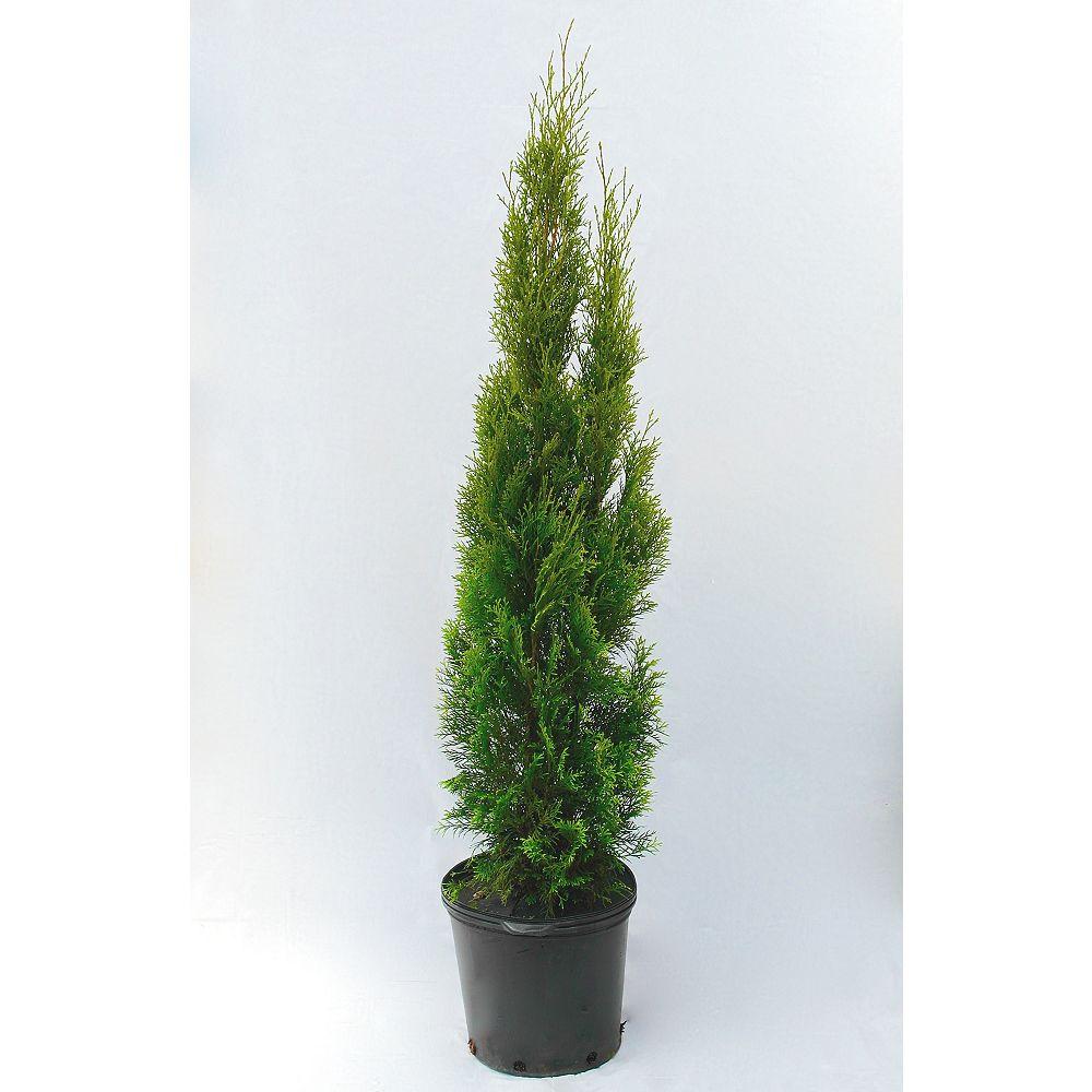 Vigoro 38-inch x 15-inch Emerald Cedar Tree (Grows to 15 ft.)