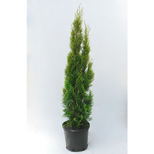 38-inch x 15-inch Emerald Cedar Tree (Grows to 15 ft.)