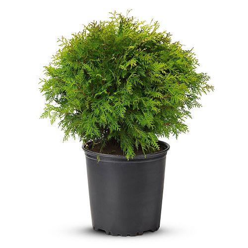 24-inch Globe Cedar