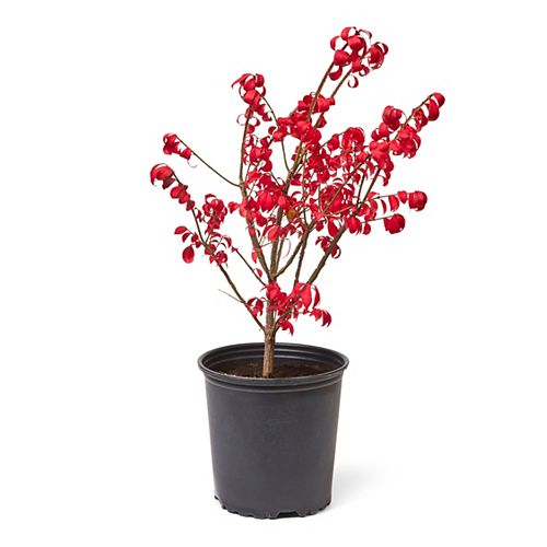 2 Gallon Burning Bush