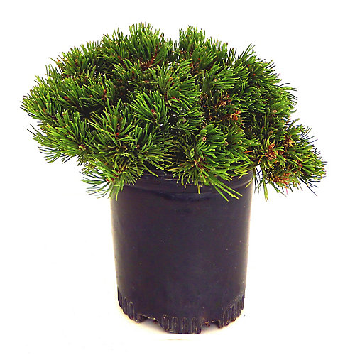 2 Gallon Mugo Pine