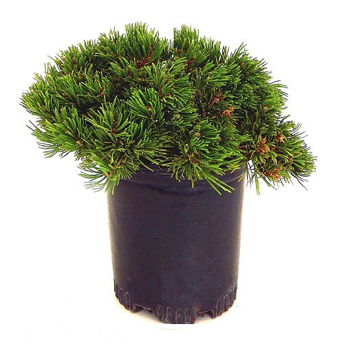 Landscape Basics 7.5L Mugo Pine