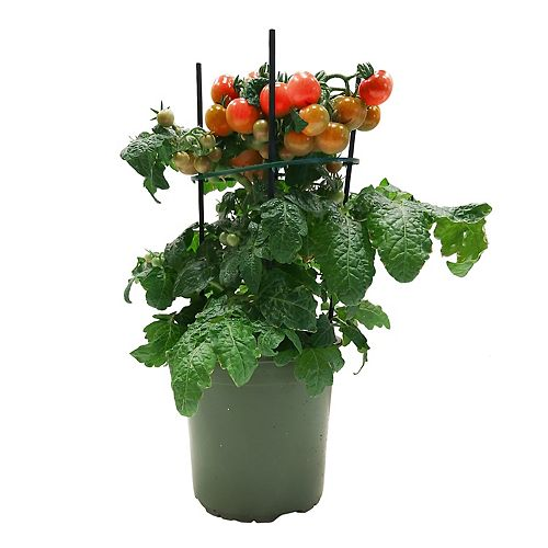 6.75-inch Table Tomato Plant