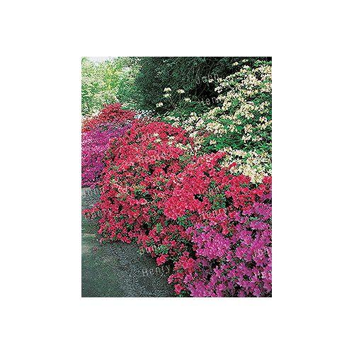 Landscape Basics Azalea Evergreen # 1 Pot