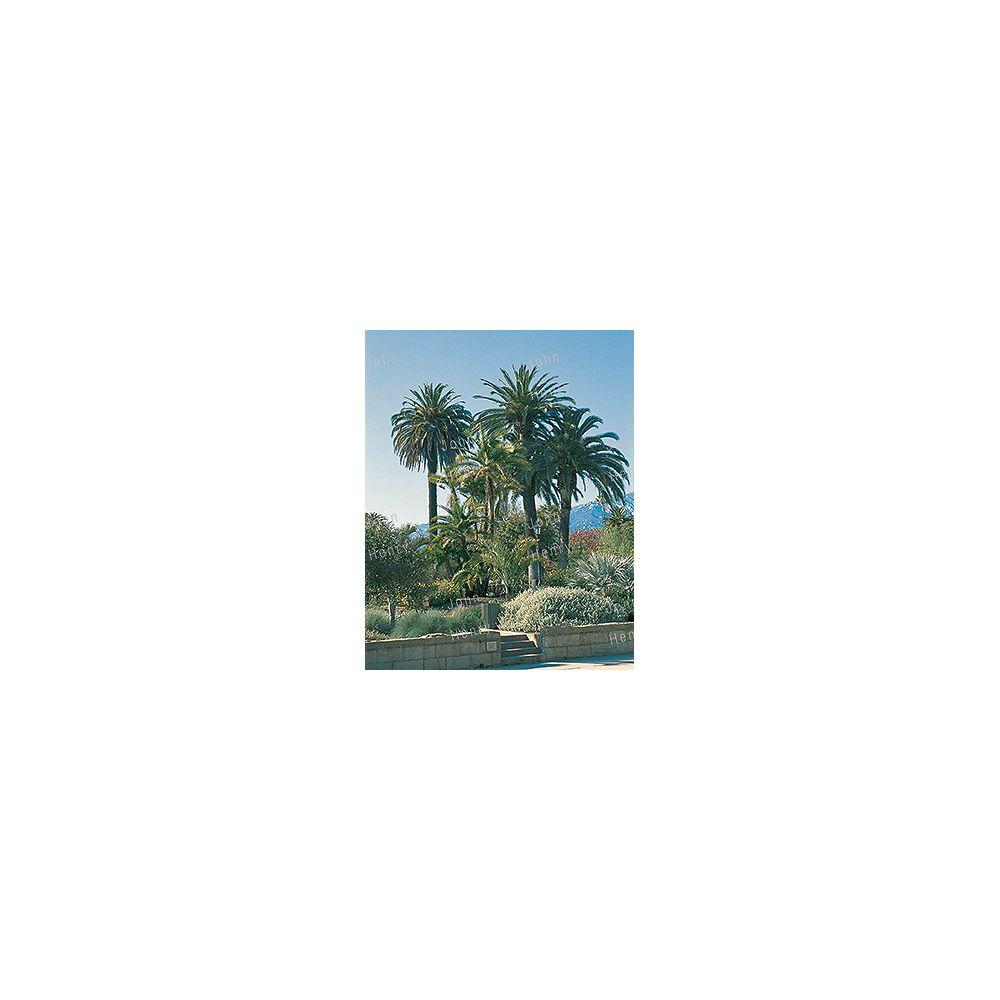 Landscape Basics 3.75L Palm Tropical Plant