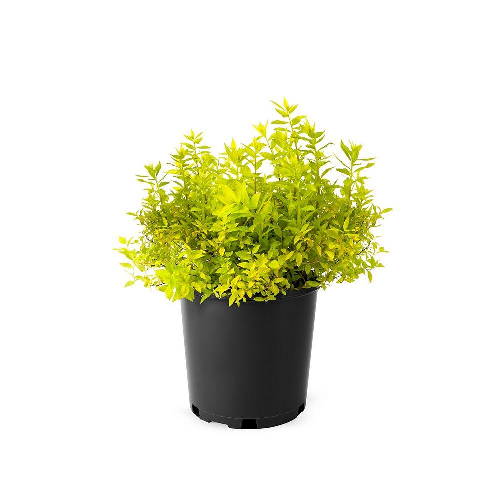 Landscape Basics 7.5L Spirea Goldmound Spirea Flowering Shrub