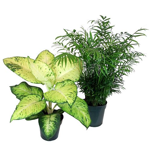 6-inch Assorted Premium Tropical Plants