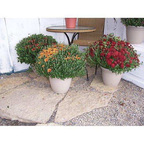 Chrysanthème de Jardin 12po