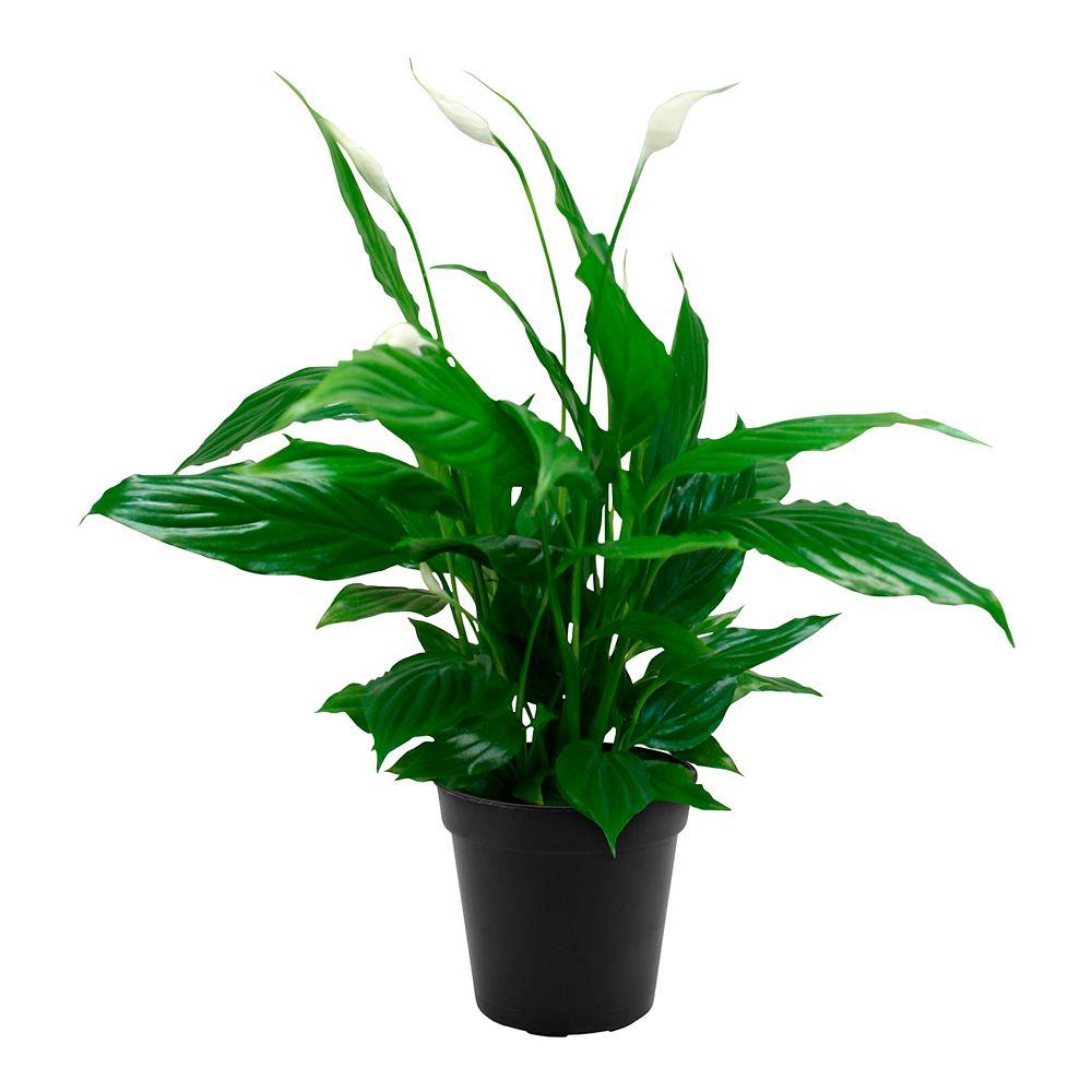 Landscape Basics 4-inch Peace  (Spathiphillum) Lily Plant