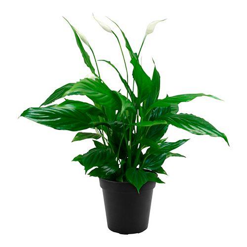 Spathiphyllum 4 po