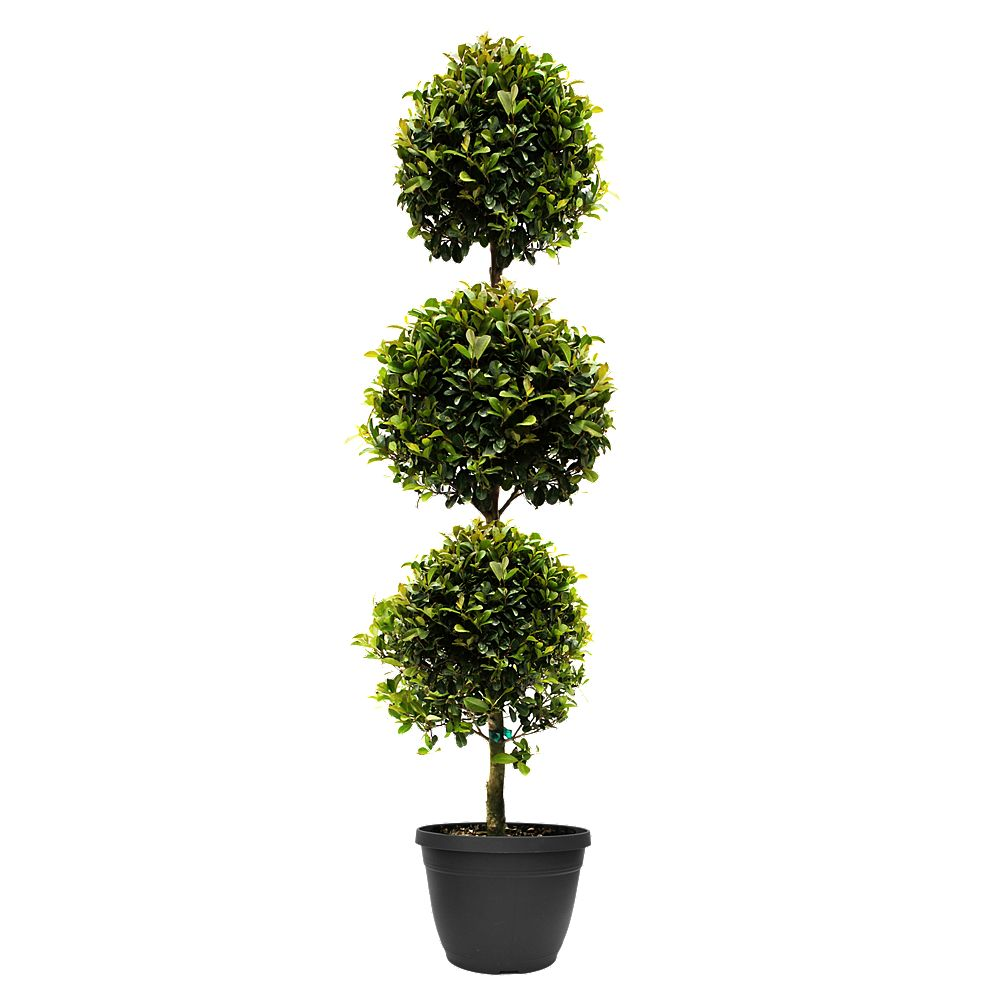 Rainbow Eugenia Topiary 3 Balls, 10 inch