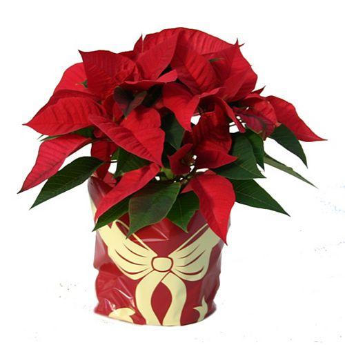 Poinsettia des Fêtes avec fleurs rouges, 6 po