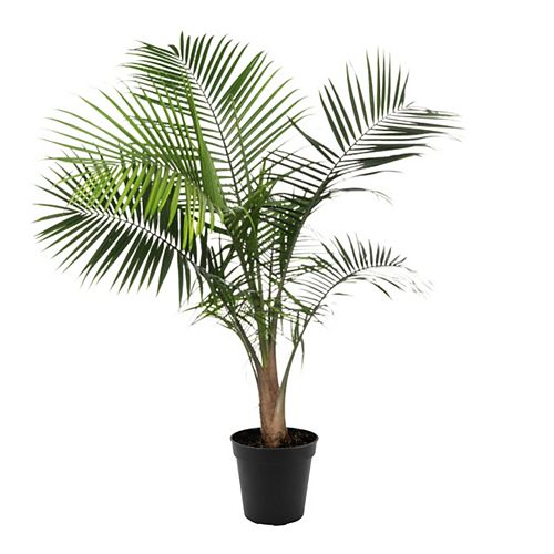 10-inch Palm Majesty