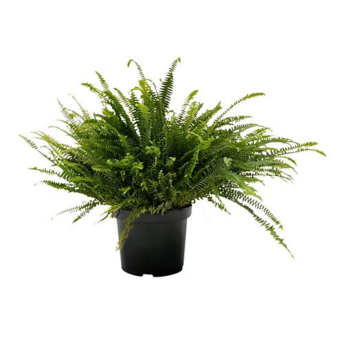Landscape Basics Fern Kimberly Queen 10 inch