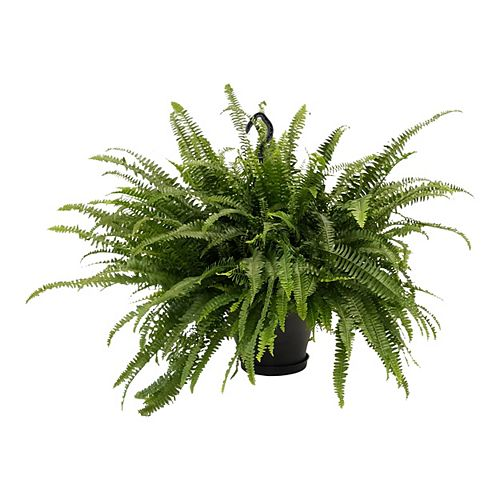 10-inch Fern Boston