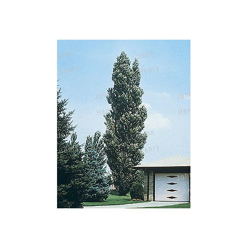 Landscape Basics Assorted Aspen Trees #5 Pot
