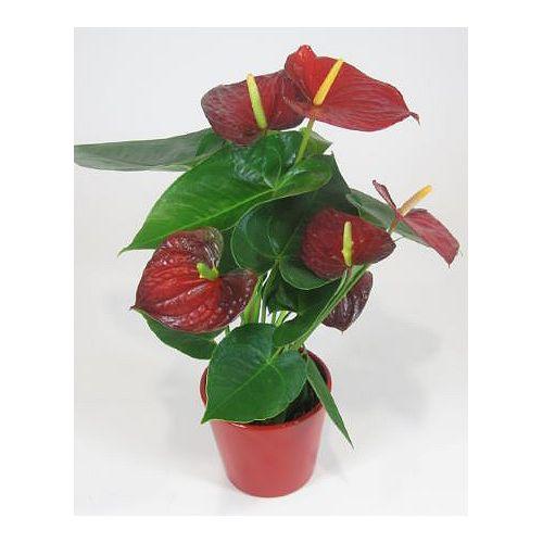 5-inch Tropical Anthurium Plant in Ceramic Planter
