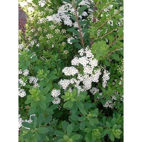 Arbuste de spirée Snowmound, 10 po