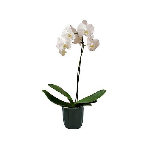 Orchidée phalaenopsis, pot de céramique, 5 po