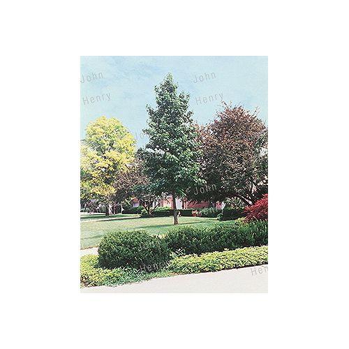 Landscape Basics Fruit Tree - Espalier 7g