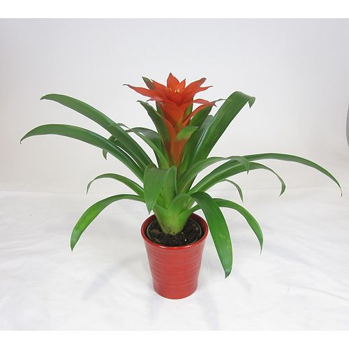 5-inch Tropical Bromeliad Plant in Ceramic Planter