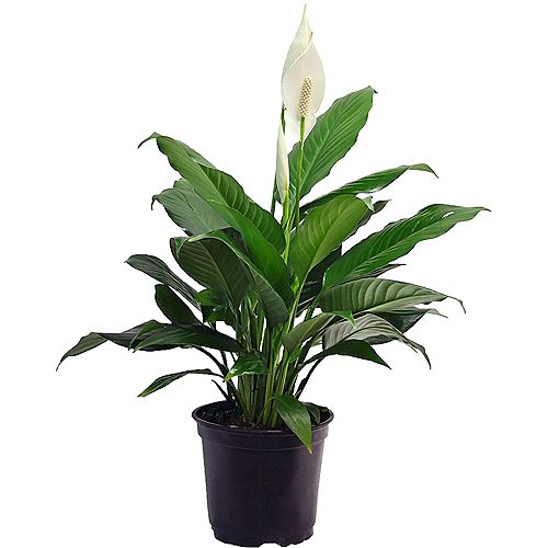6 inch Spath (Peace Lily)
