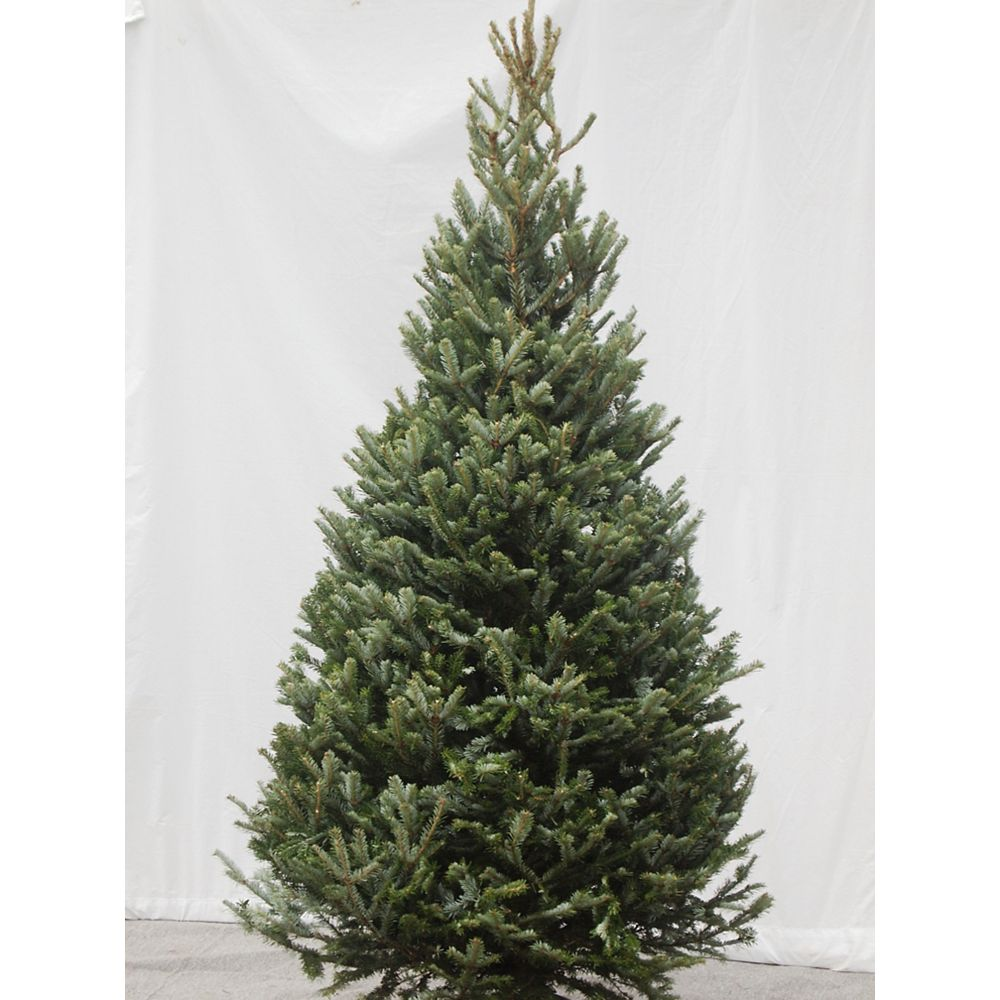 THD Fraser Fir Cross Christmas Tree 8-9 ft.