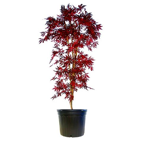 Japanese Maple 'Bloodgood'  #10 pot