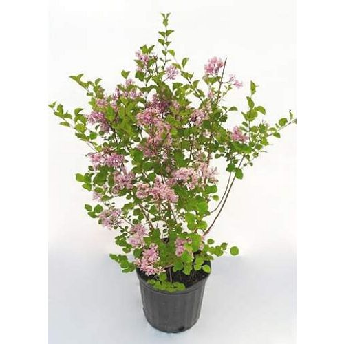 2 Gallon Dwarf Korean Lilac