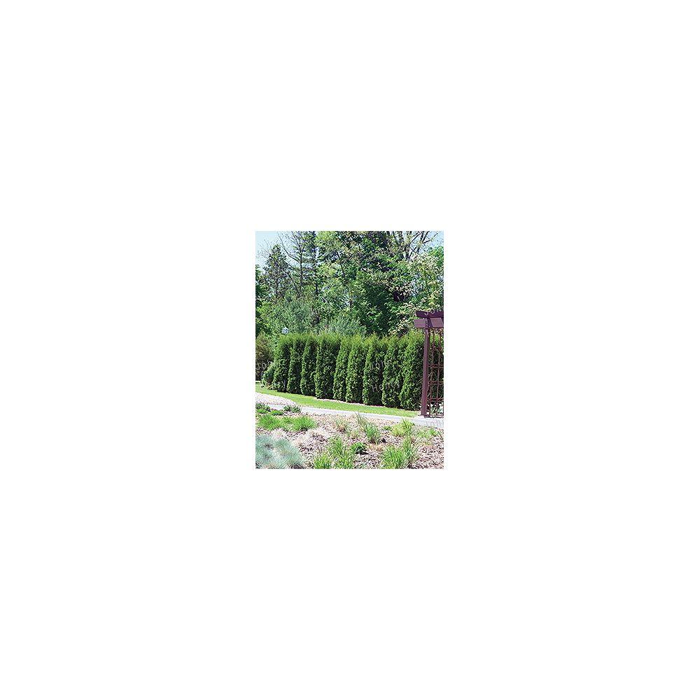 Vigoro 4-6 ft. Brandon Cedar Tree