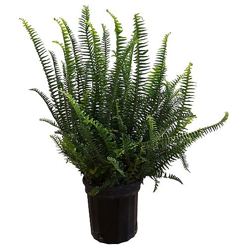 1 gal Fern Kimberly Queen