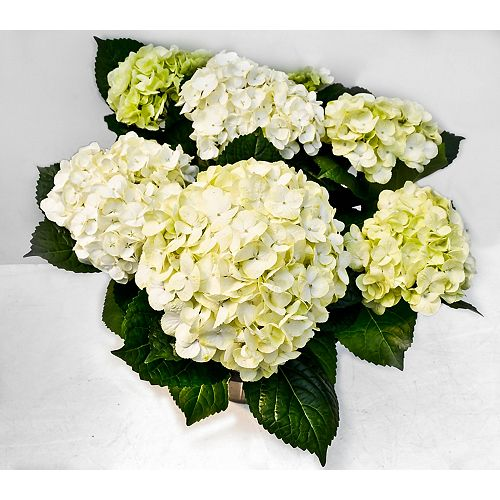 Hydrangea Blanc 9po