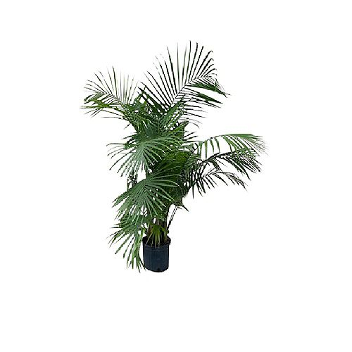 Palm Majesty 12 inch