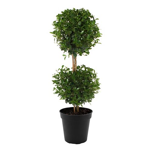 Eugenia Topiary Double Ball 10 inch