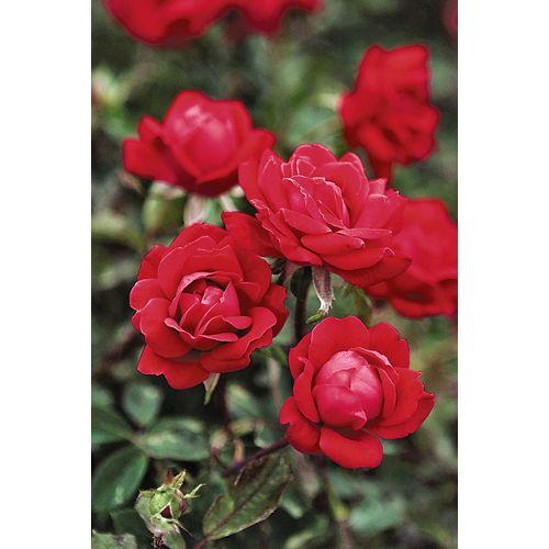 7.5 L Knockout Rose
