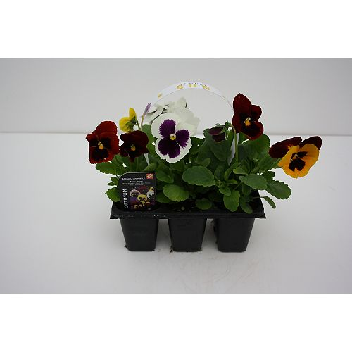 Spring Annuals (6-Pack)